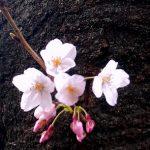 新月と桜と再アチューンメント。